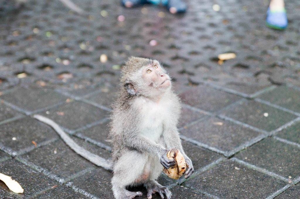 Affe im Monkey Forrest